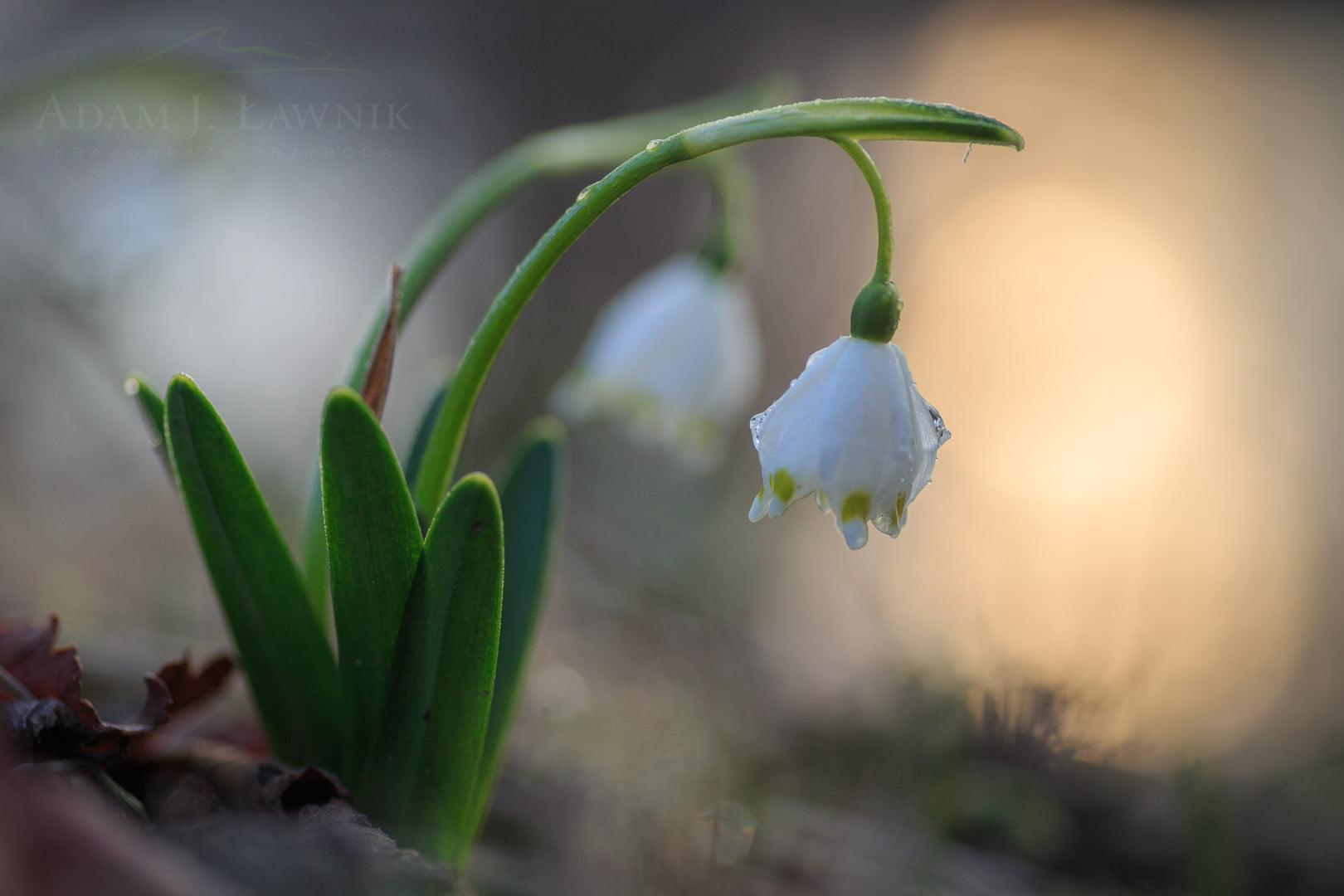 Spring flowers 1503-00326C
