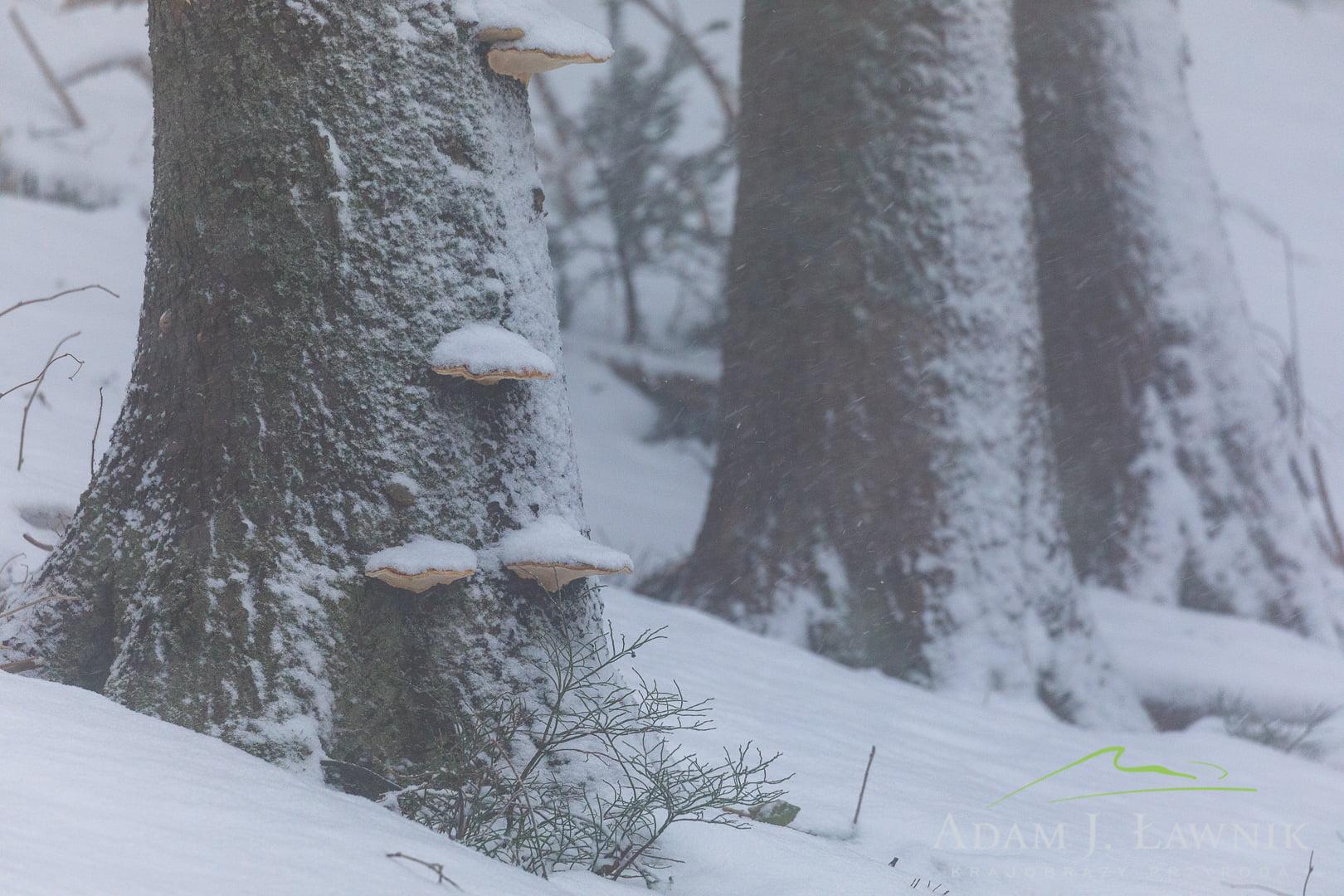 Pnie drzew z hubami w zimowej scenerii