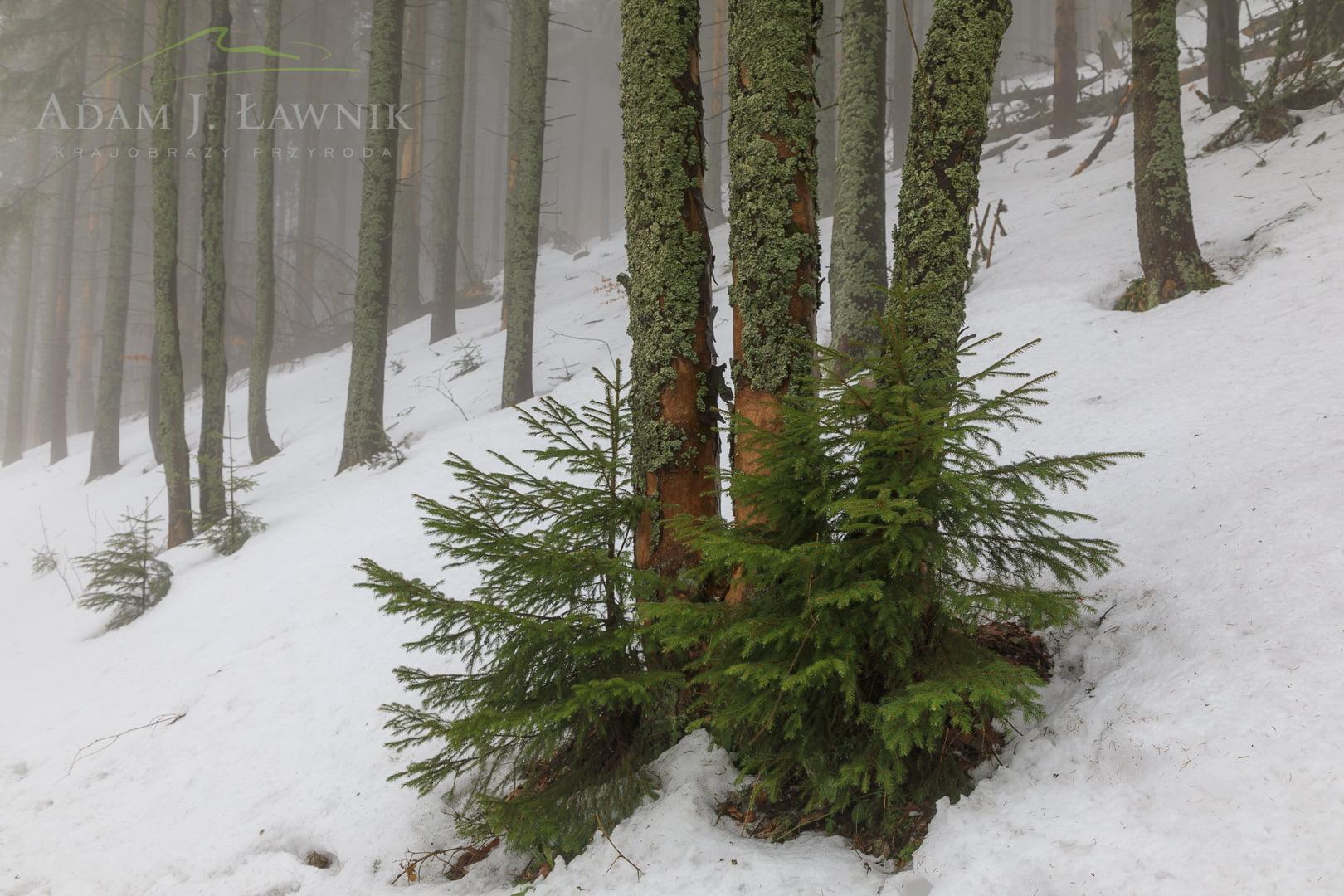 Zima w Babiogórskim Parku Narodowym