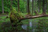 Wykrot w Białowieskim Parku Narodowym