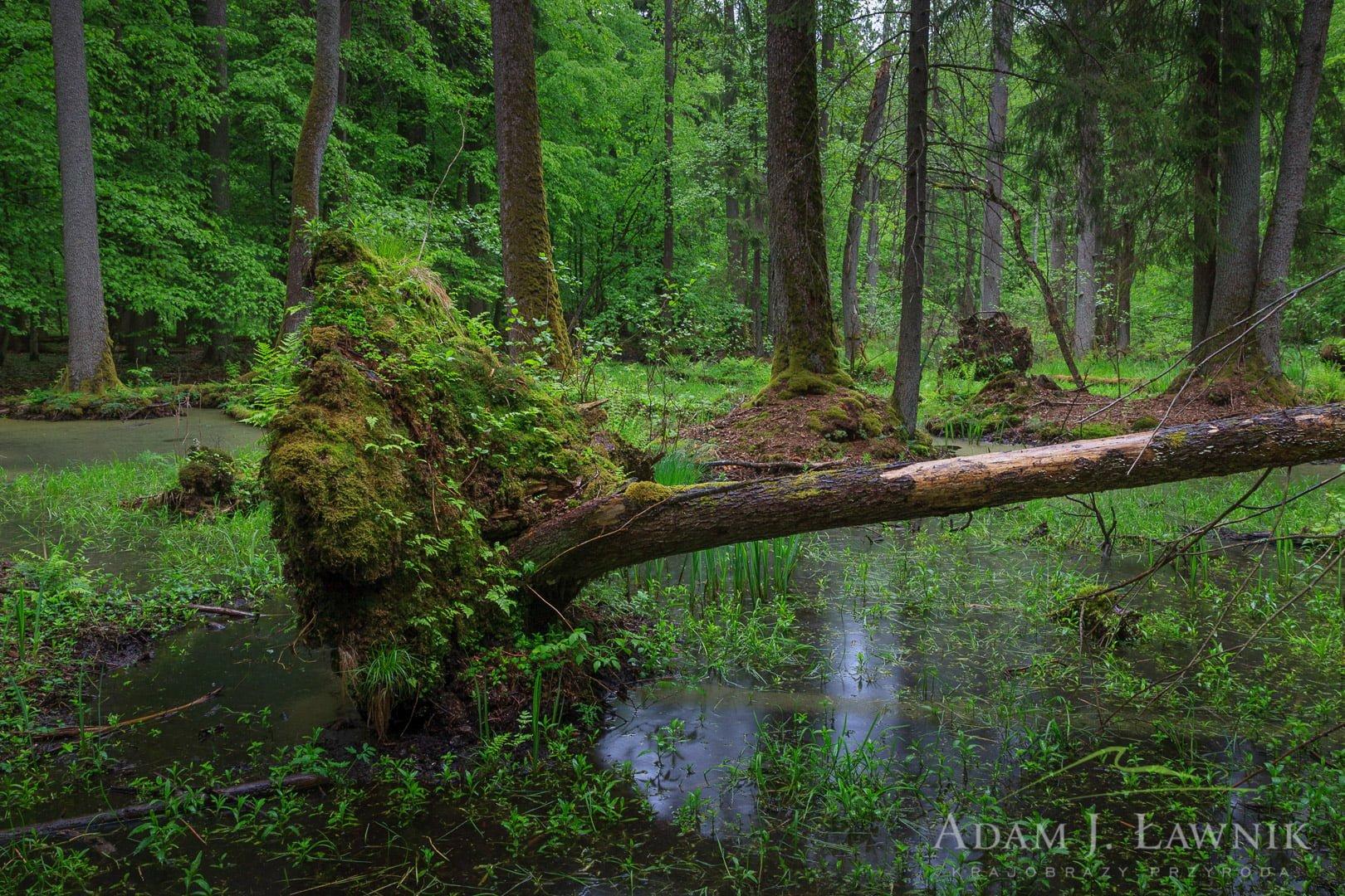 Białowieża National Park, Poland 0905-00294C