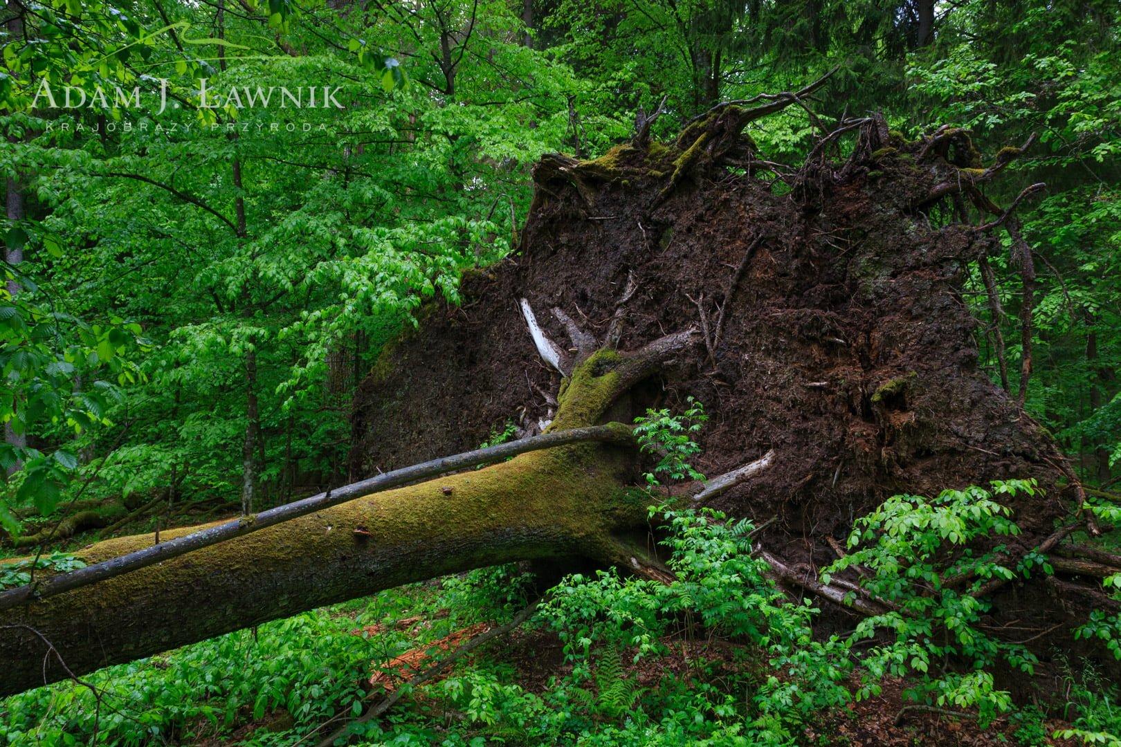 Białowieża National Park, Poland 0905-00296C