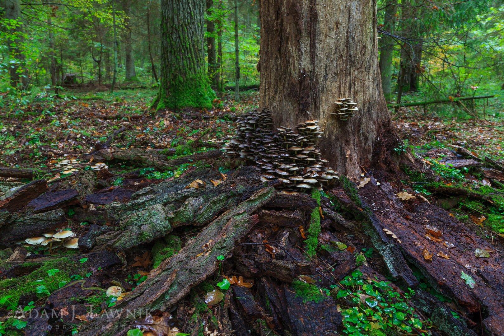 Martwe drzewo obrośnięte grzybami w Puszczy Białowieskiej