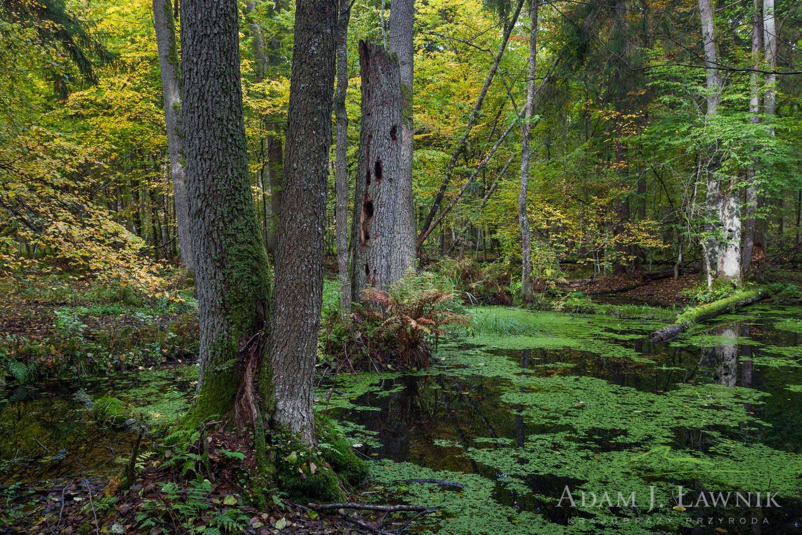 Jesienny las w Białowieskim Parku Narodowym