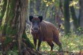 Dzik w Białowieskim Parku Narodowym