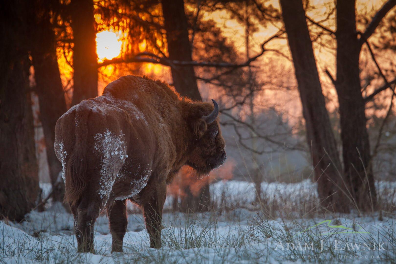 Żubr o wschodzie słońca w Białowieskim Parku Narodowym