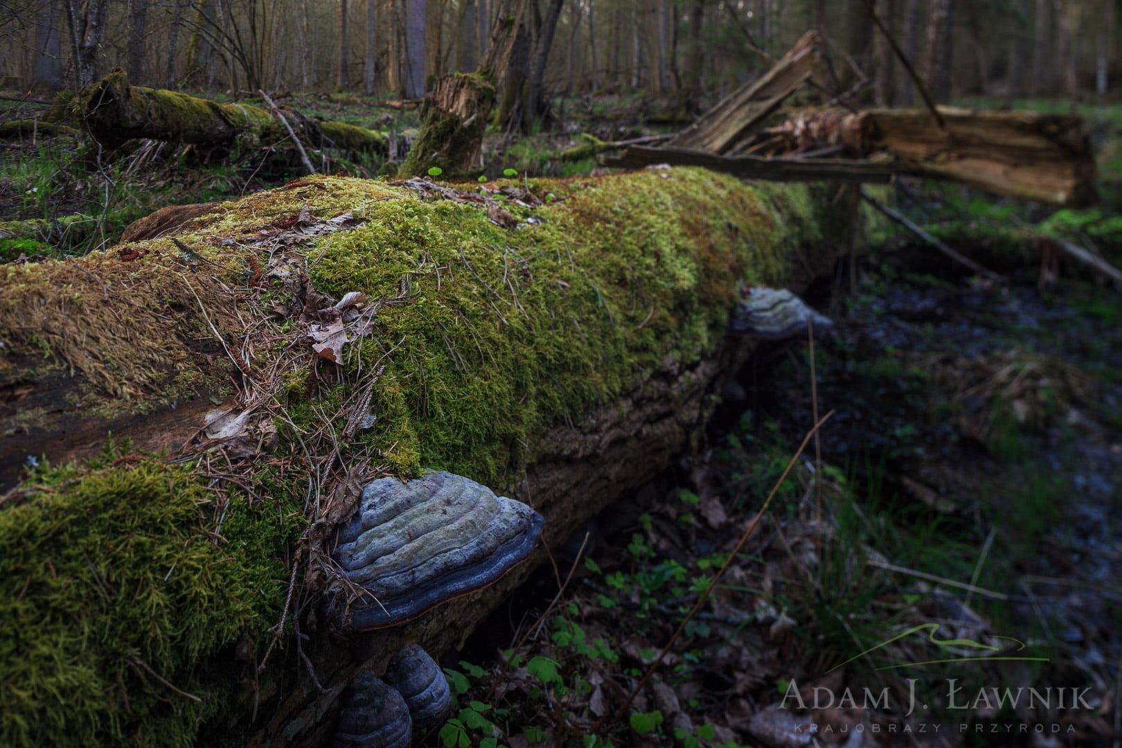 Drewno martwych drzew jest bankiem różnorodności biologicznej