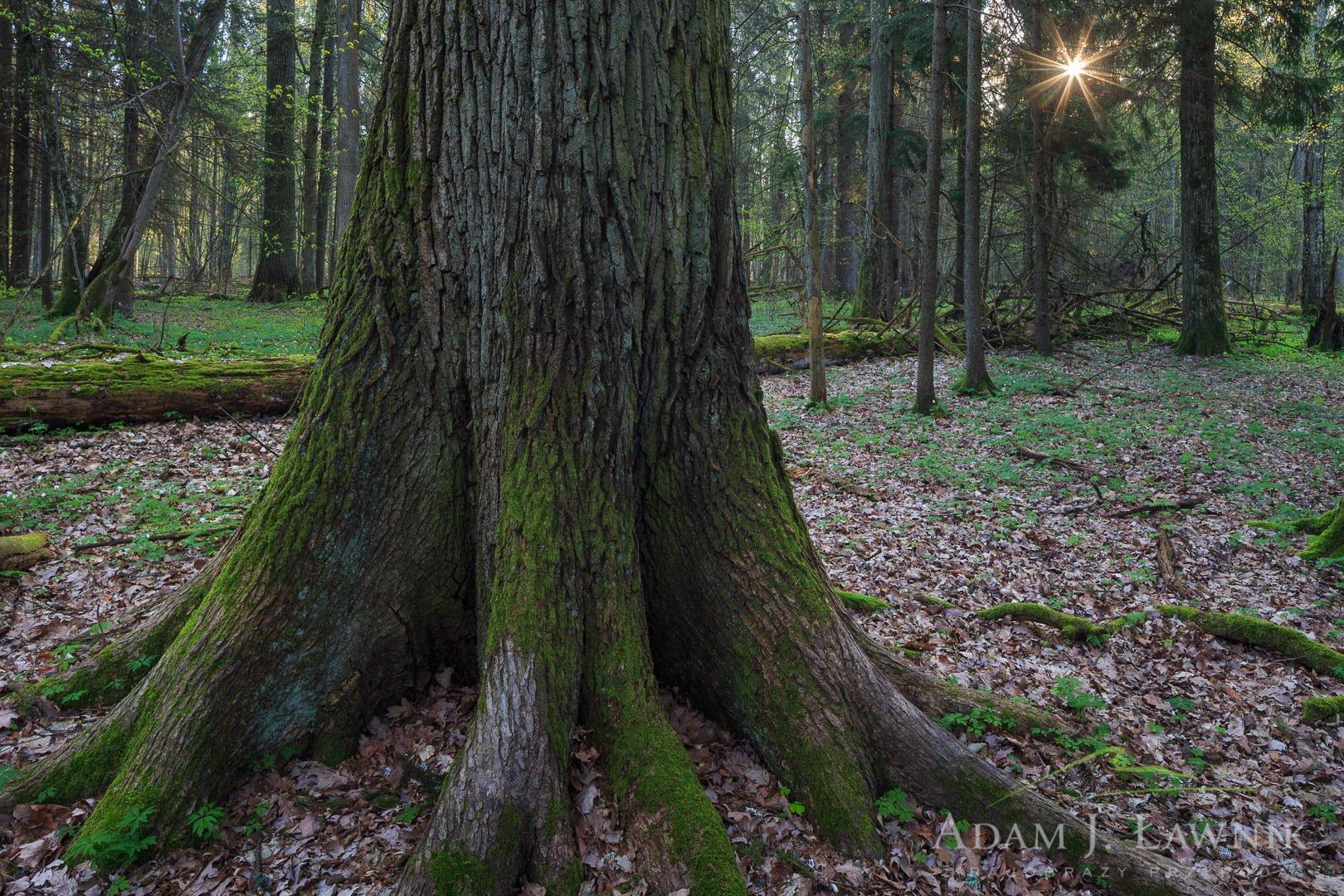 Białowieża National Park, Poland 1604-00239C