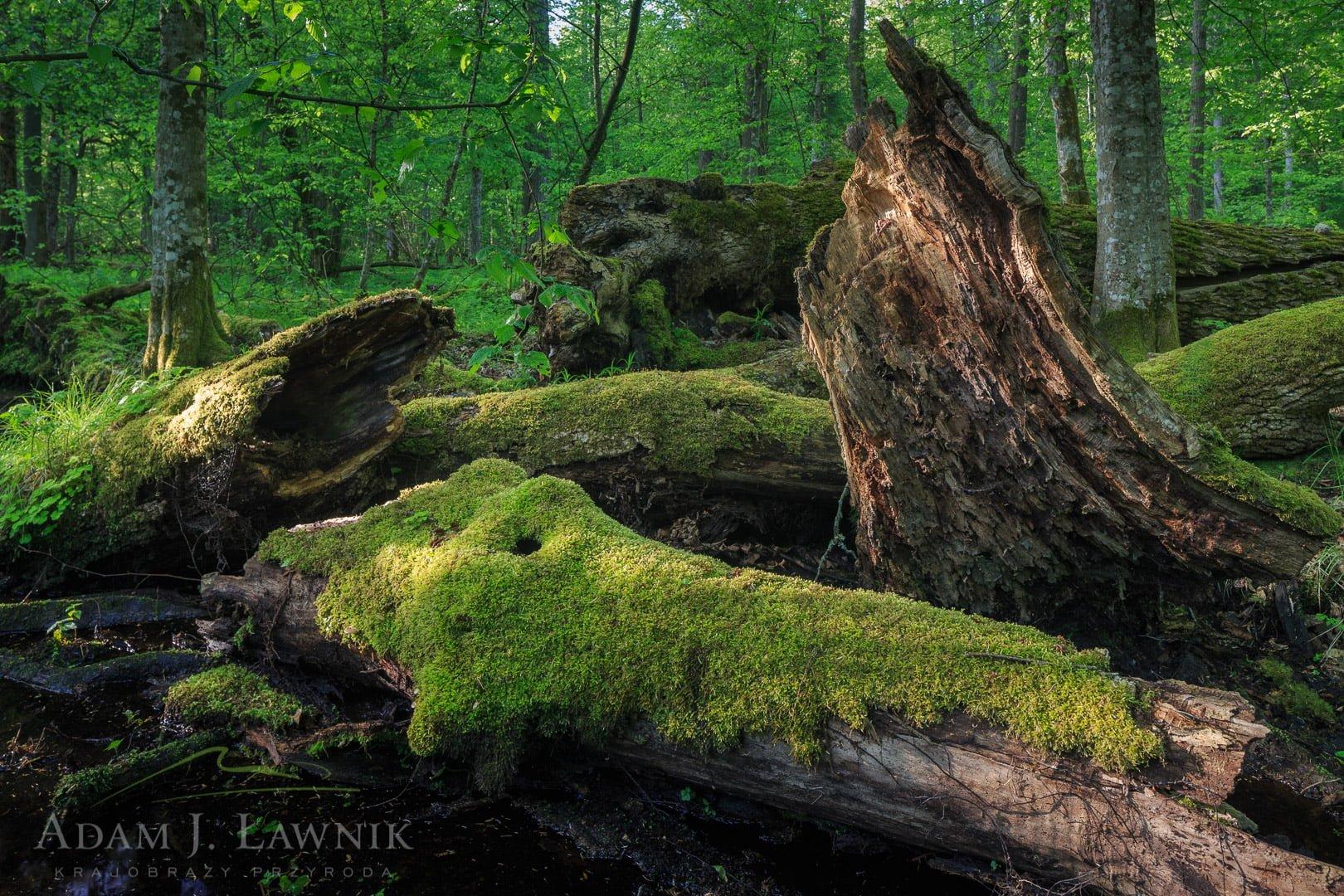 Martwe drewno w Białowieskim Parku Narodowym