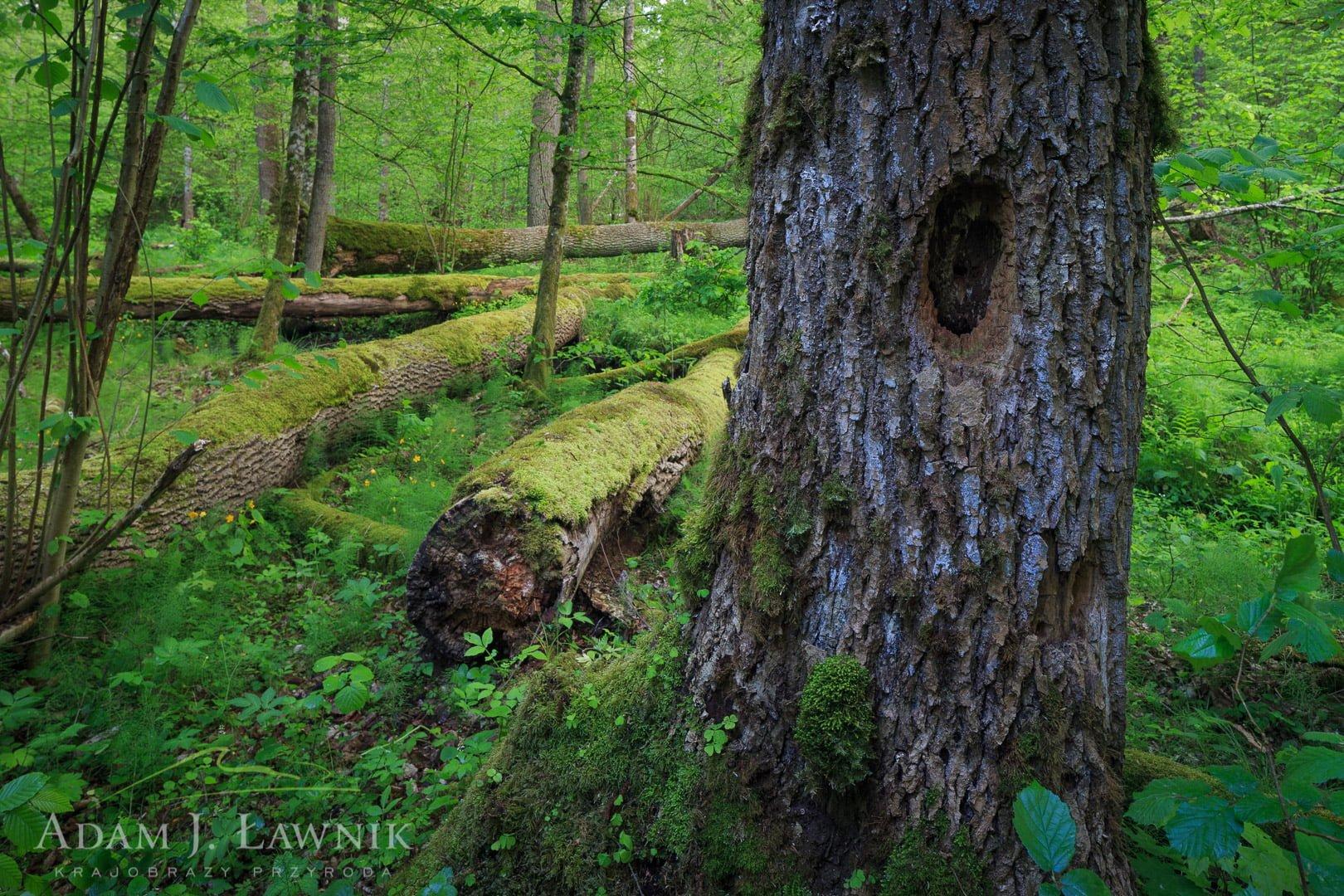 Drzewo dziuplaste w Białowieskim Parku Narodowym