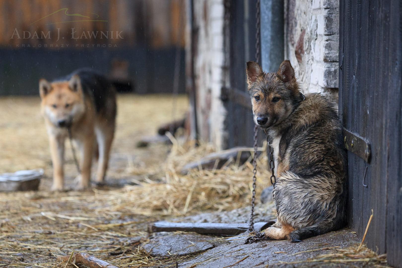 Psy na łańcuchu