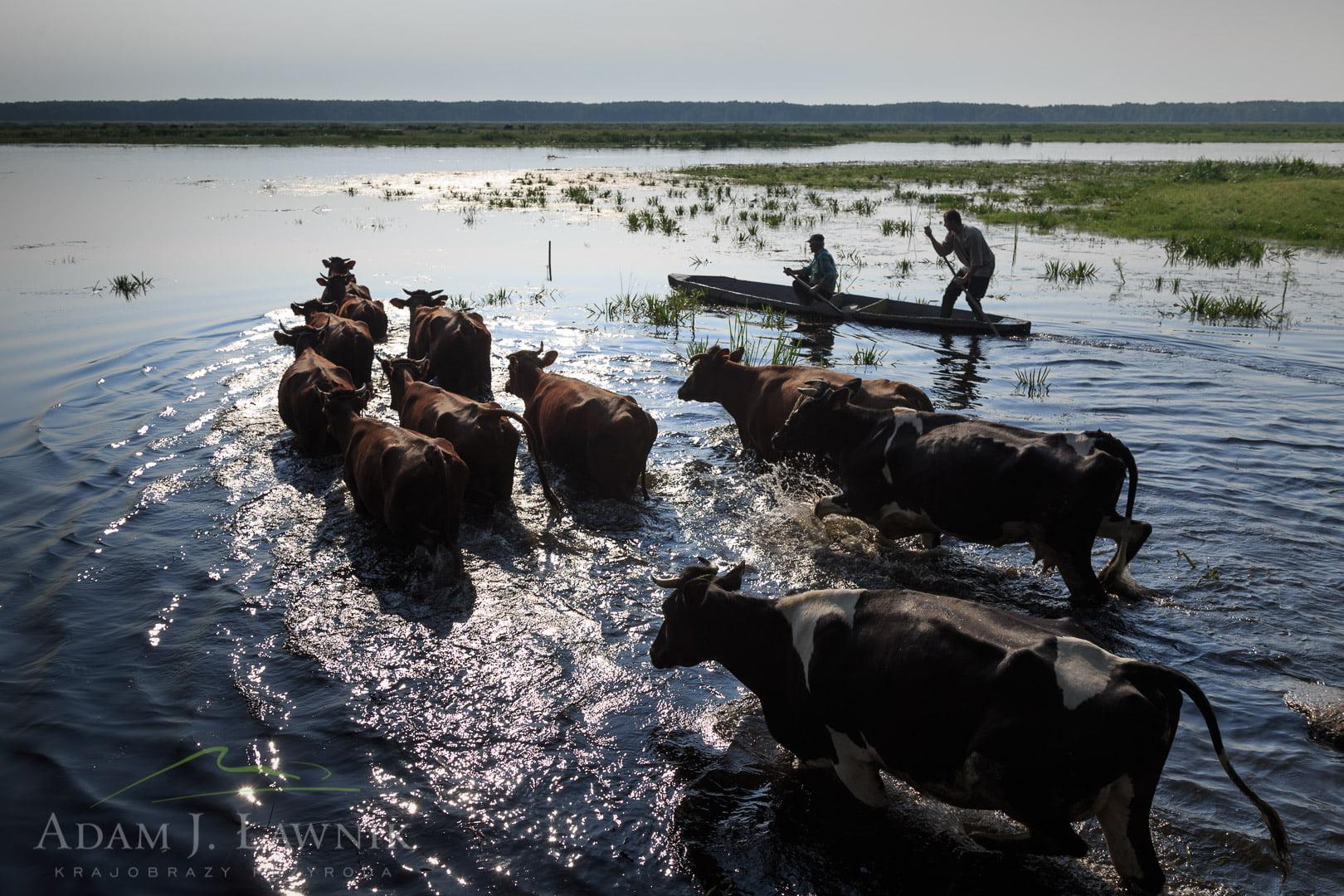 Pływające krowy w Brzostowie w Biebrzańskim Parku Narodowym