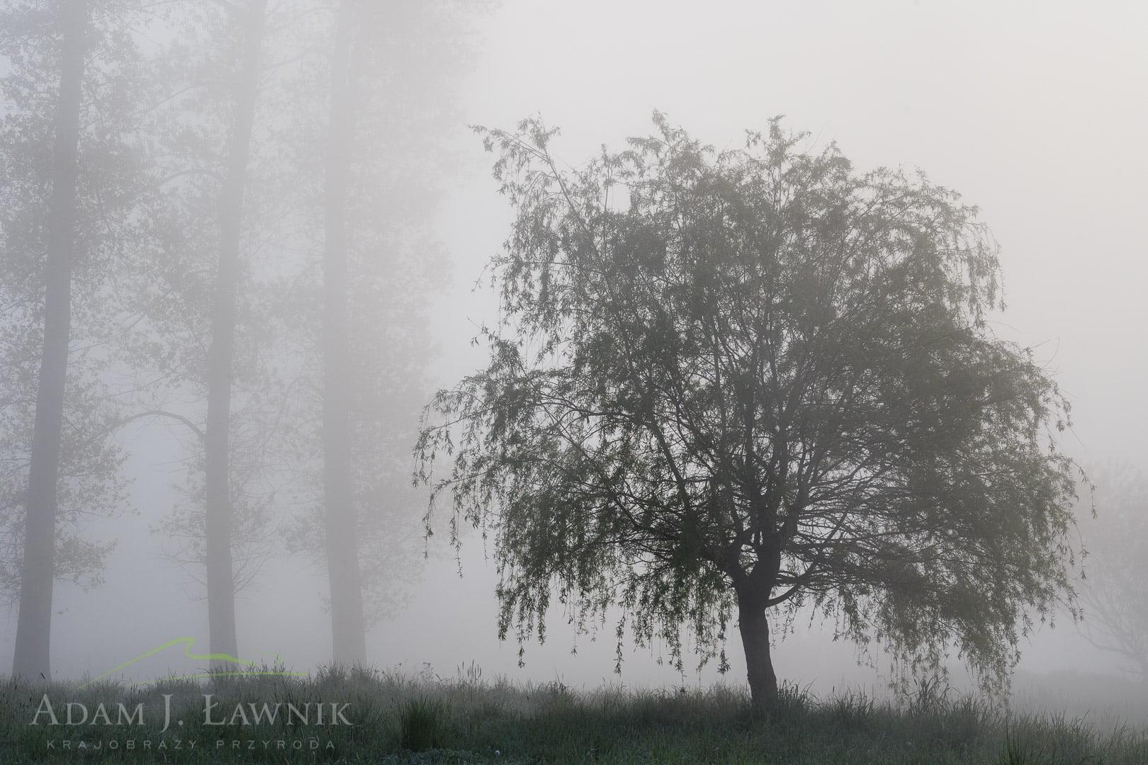 Drzewo w gęstej mgle