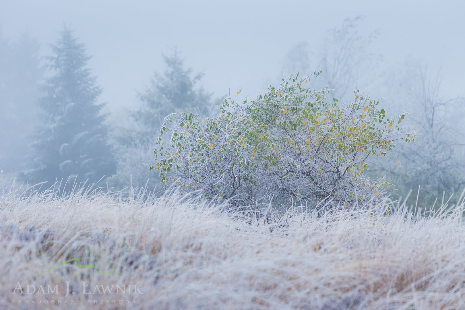 Brzoza w zimowej scenerii w Bieszczadach