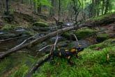 Salamandra plamista w Magurskim Parku Narodowym