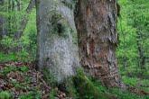 Buk i klon jawor w Magurskim Parku Narodowym
