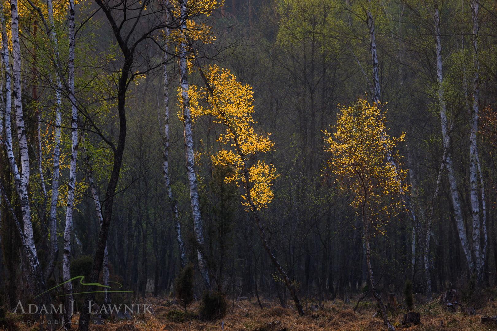 Dzikie brzozy