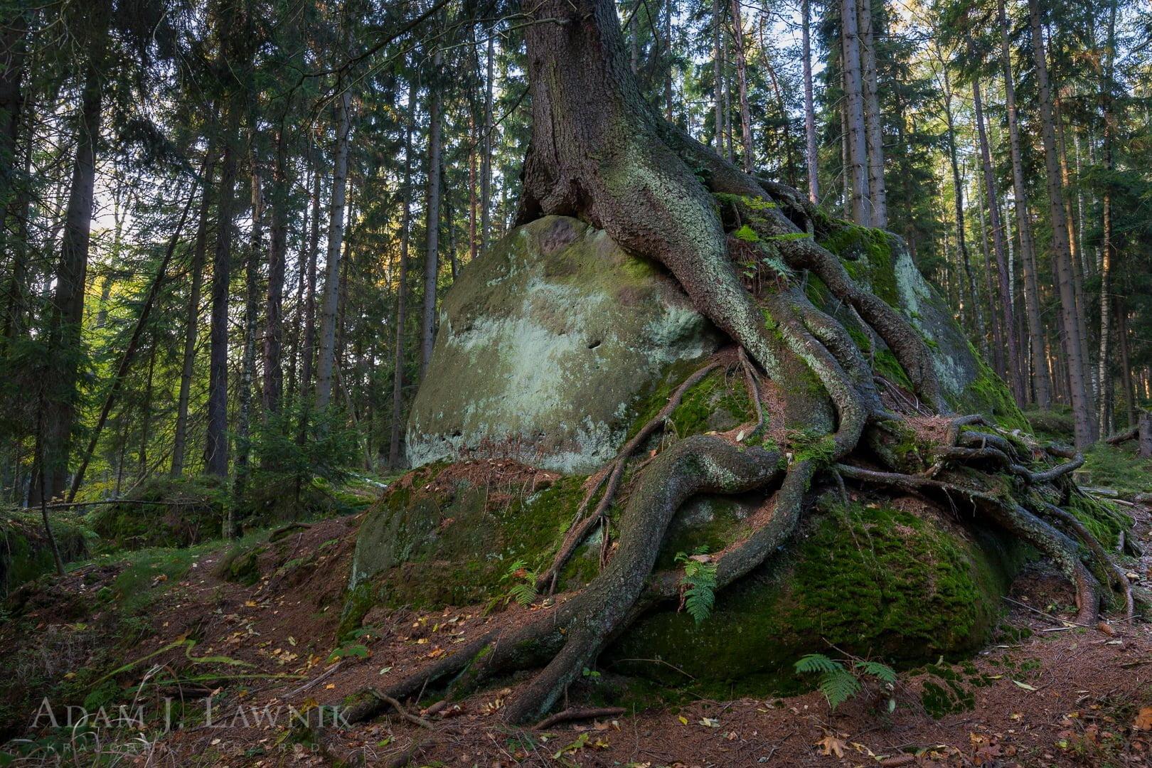 Korzenie drzewa obrastające głaz