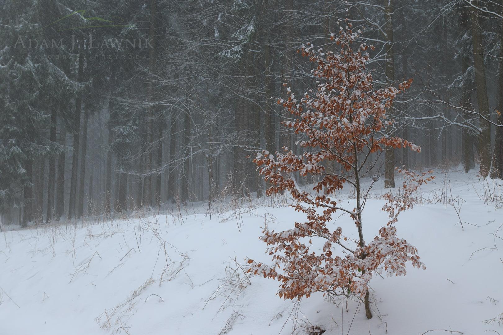 Mały buk na skraju lasu