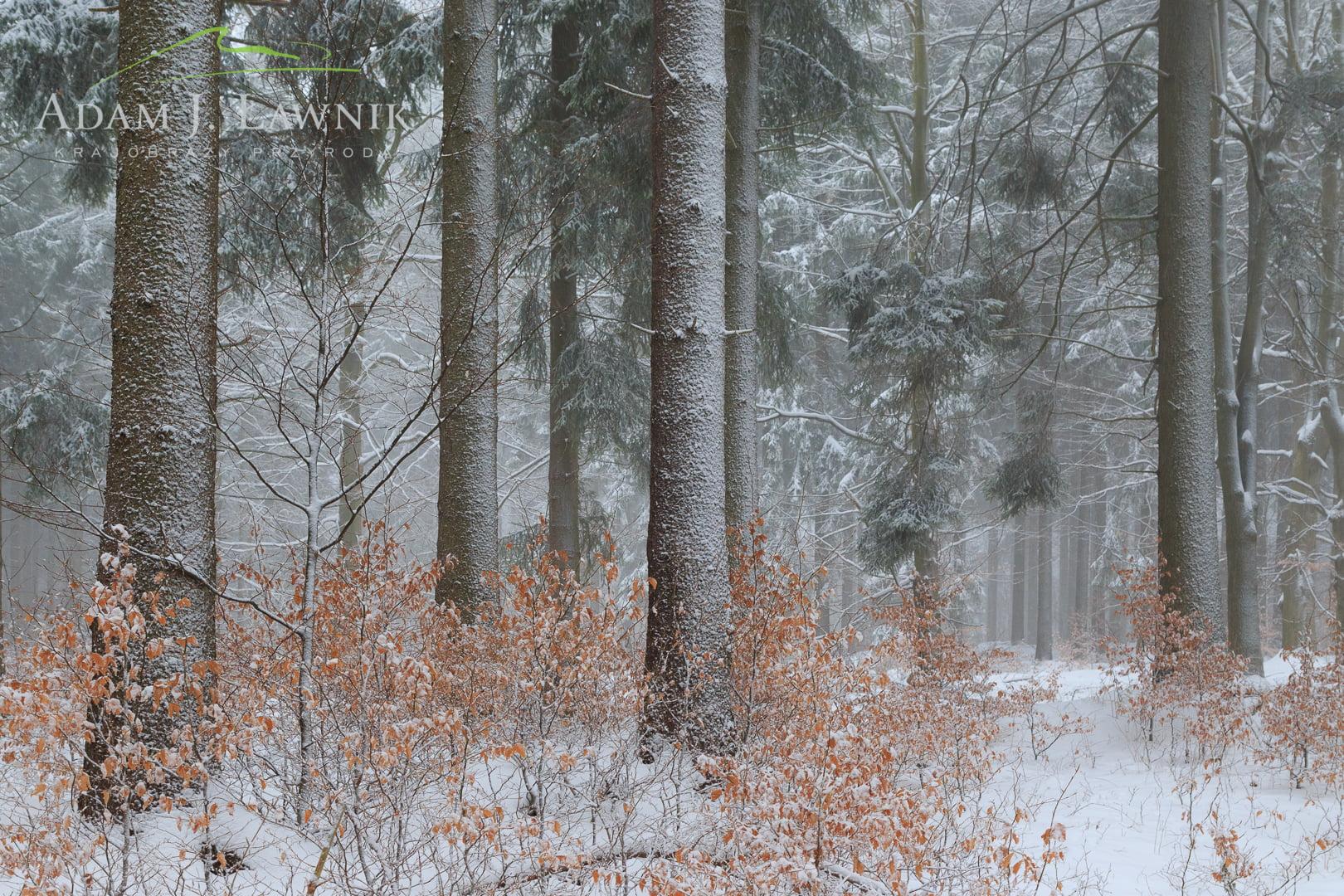 Drzewa oblepione śniegiem