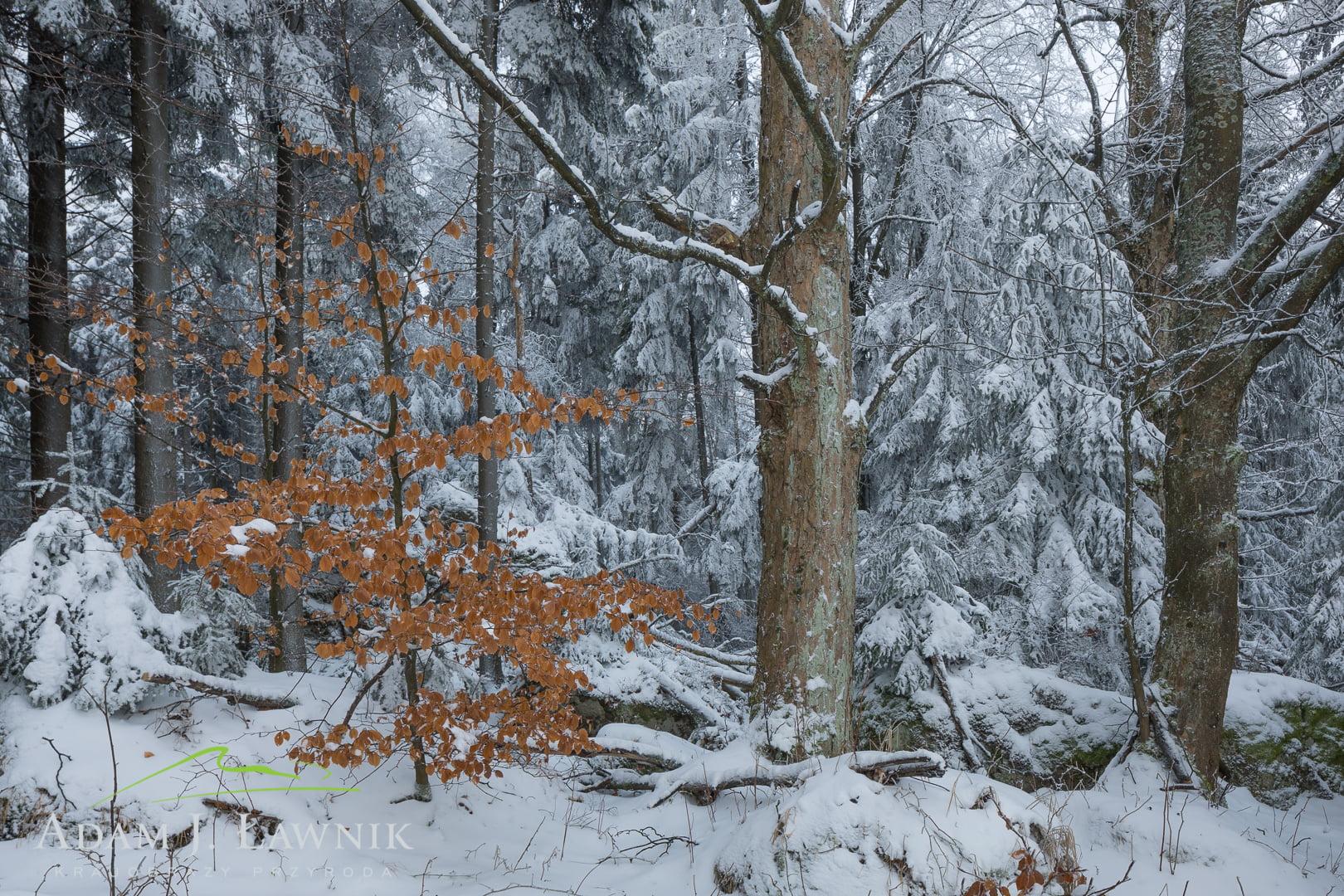 Kolorowy buk na tle zimowego lasu