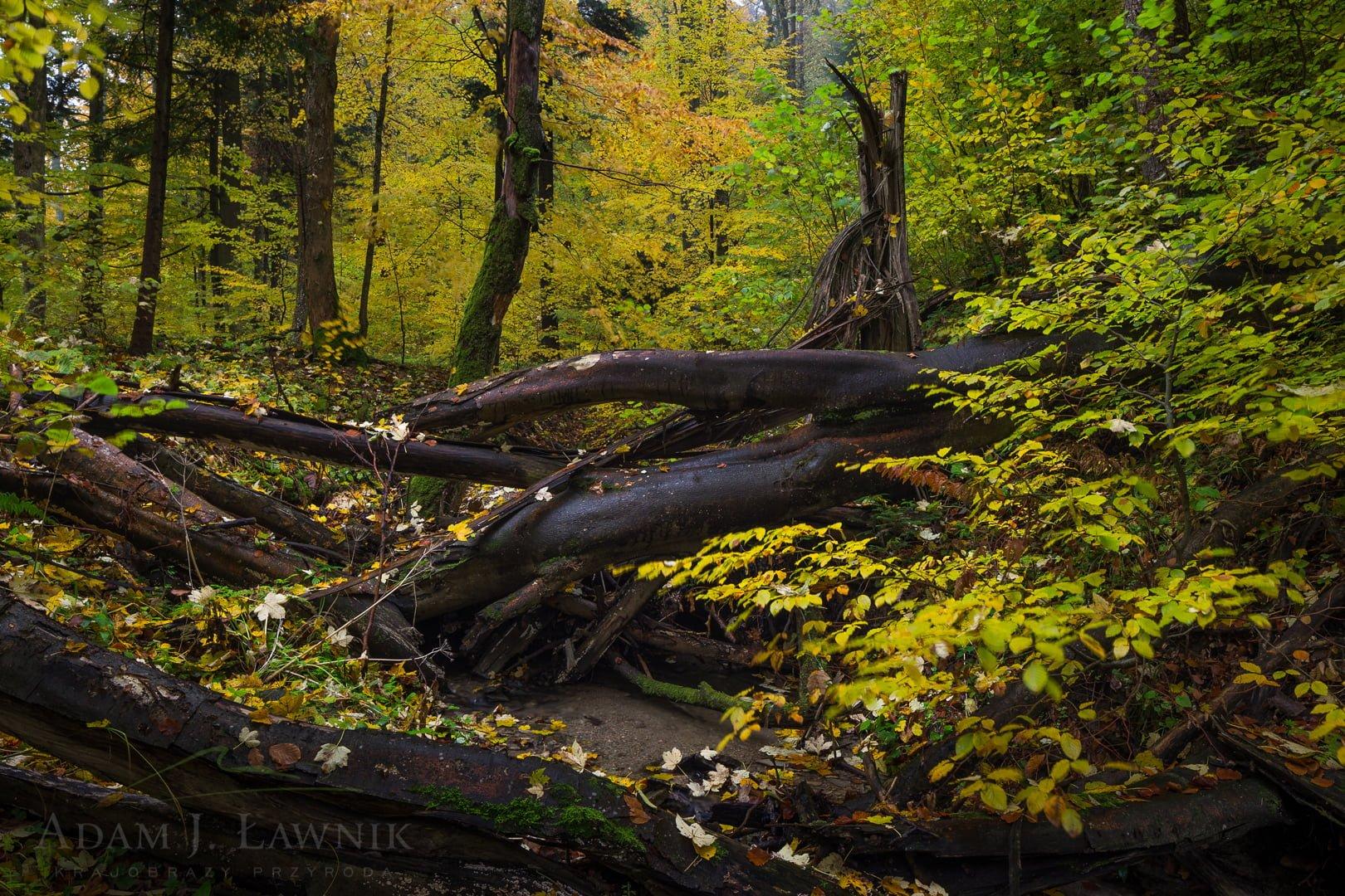 Przewrócone drzewa nad potokiem