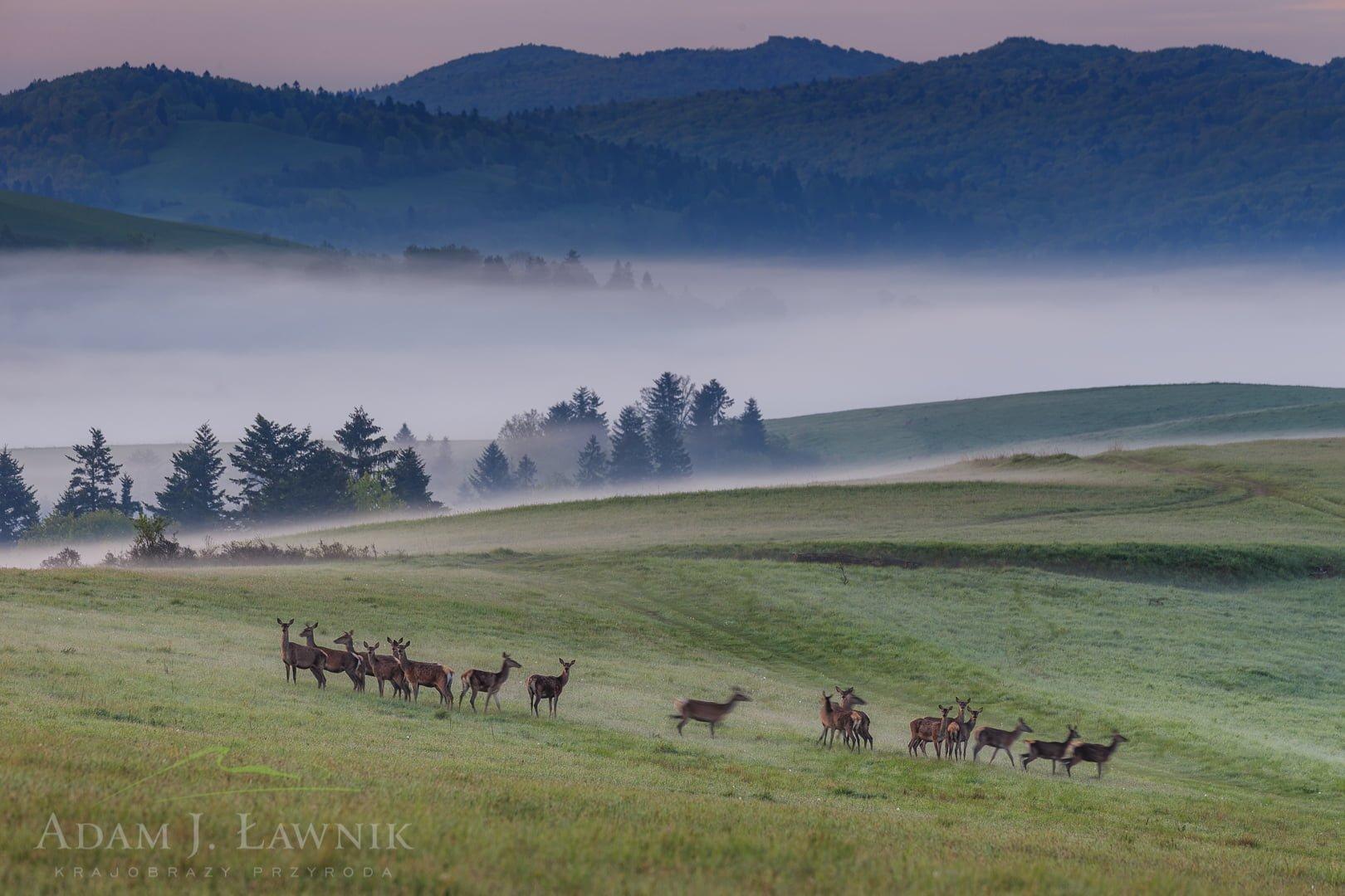 Chmara jeleni w Turnickim Parku Narodowym