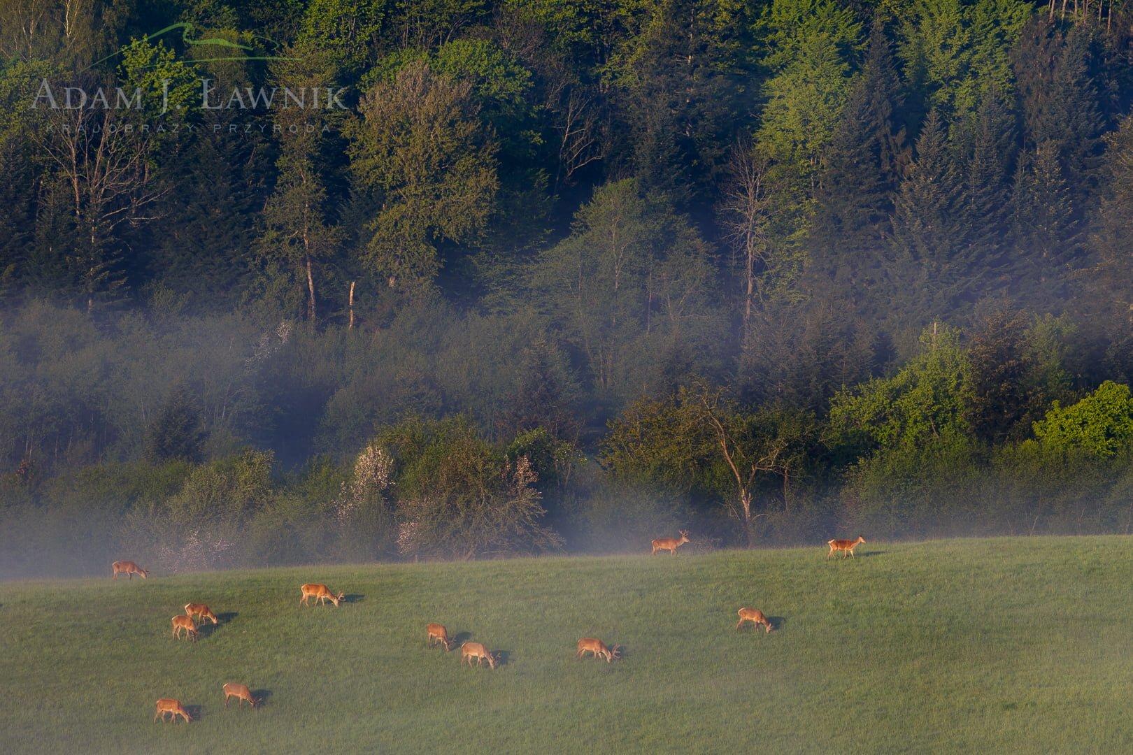Pasące się jelenie w Turnickim Parku Narodowym