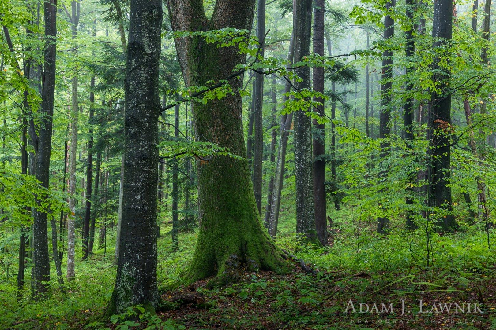 Las o charakterze naturalnym we mgle