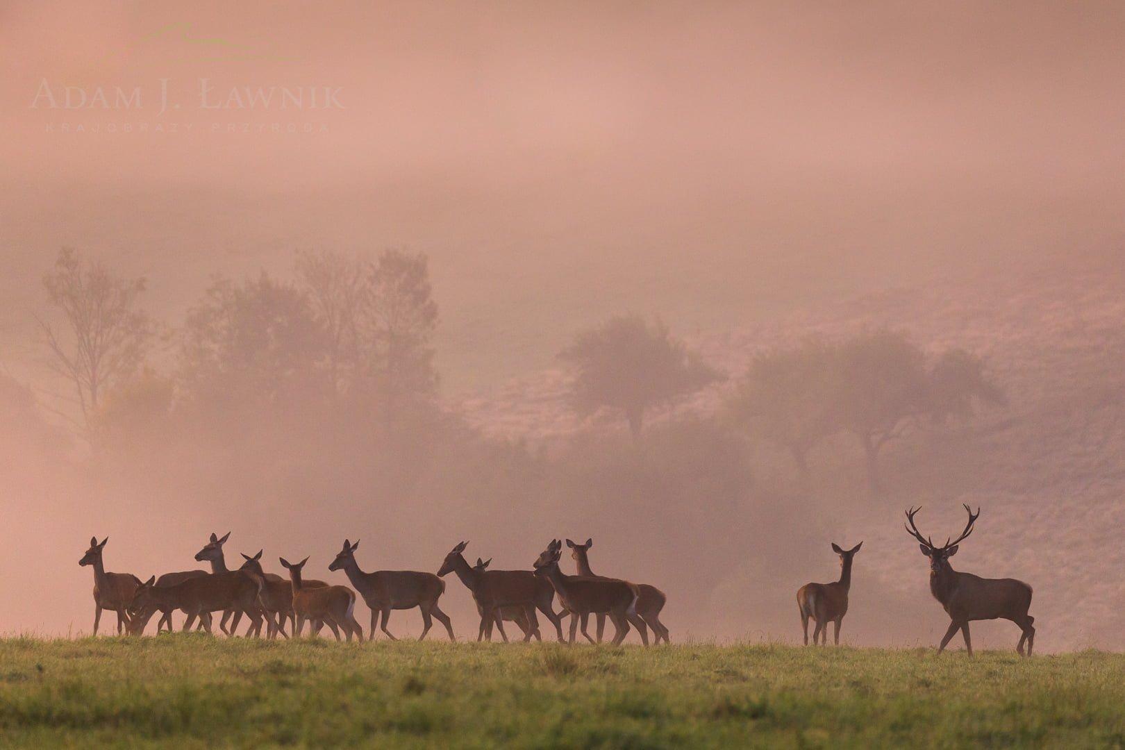 Chmara jeleni na rykowisku