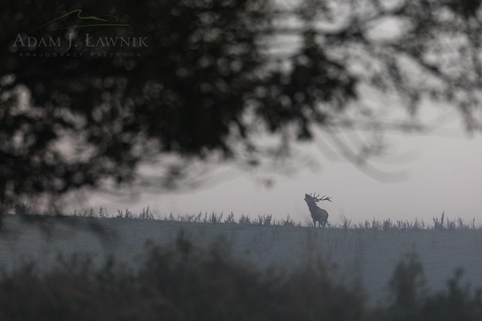 Jeleń na rykowisku w Turnickim Parku Narodowym