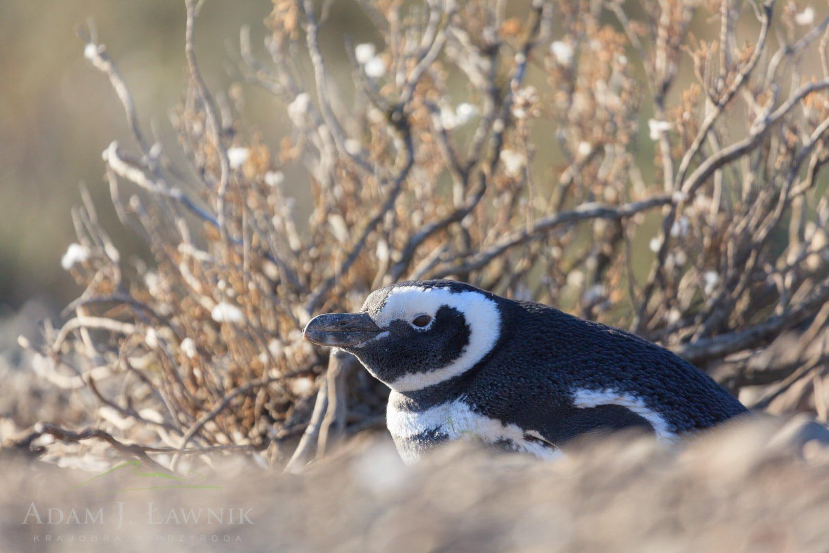 Penguins 1204-01150C