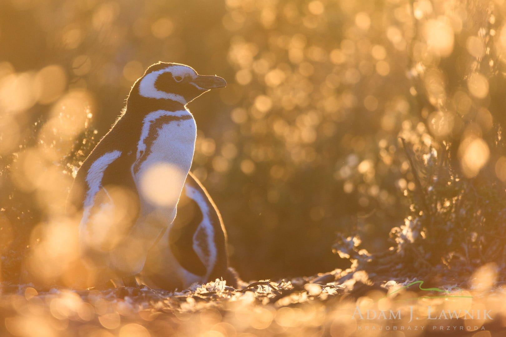 Penguins 1204-01167C