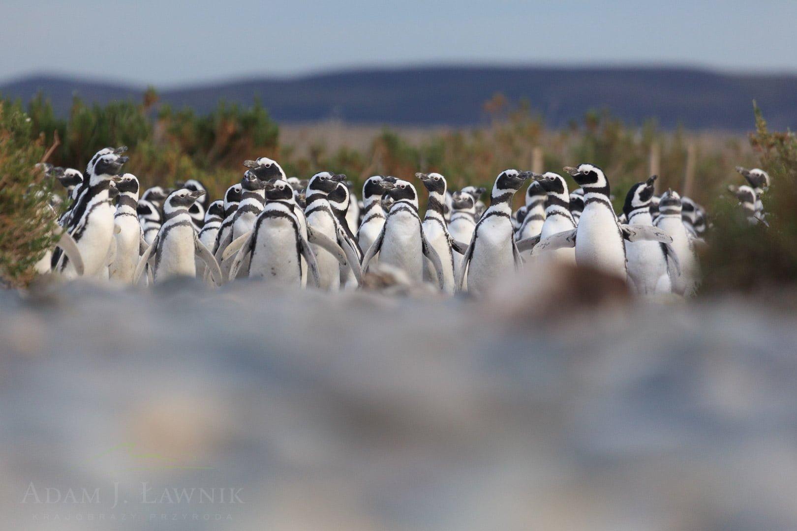 Penguins 1204-01187C