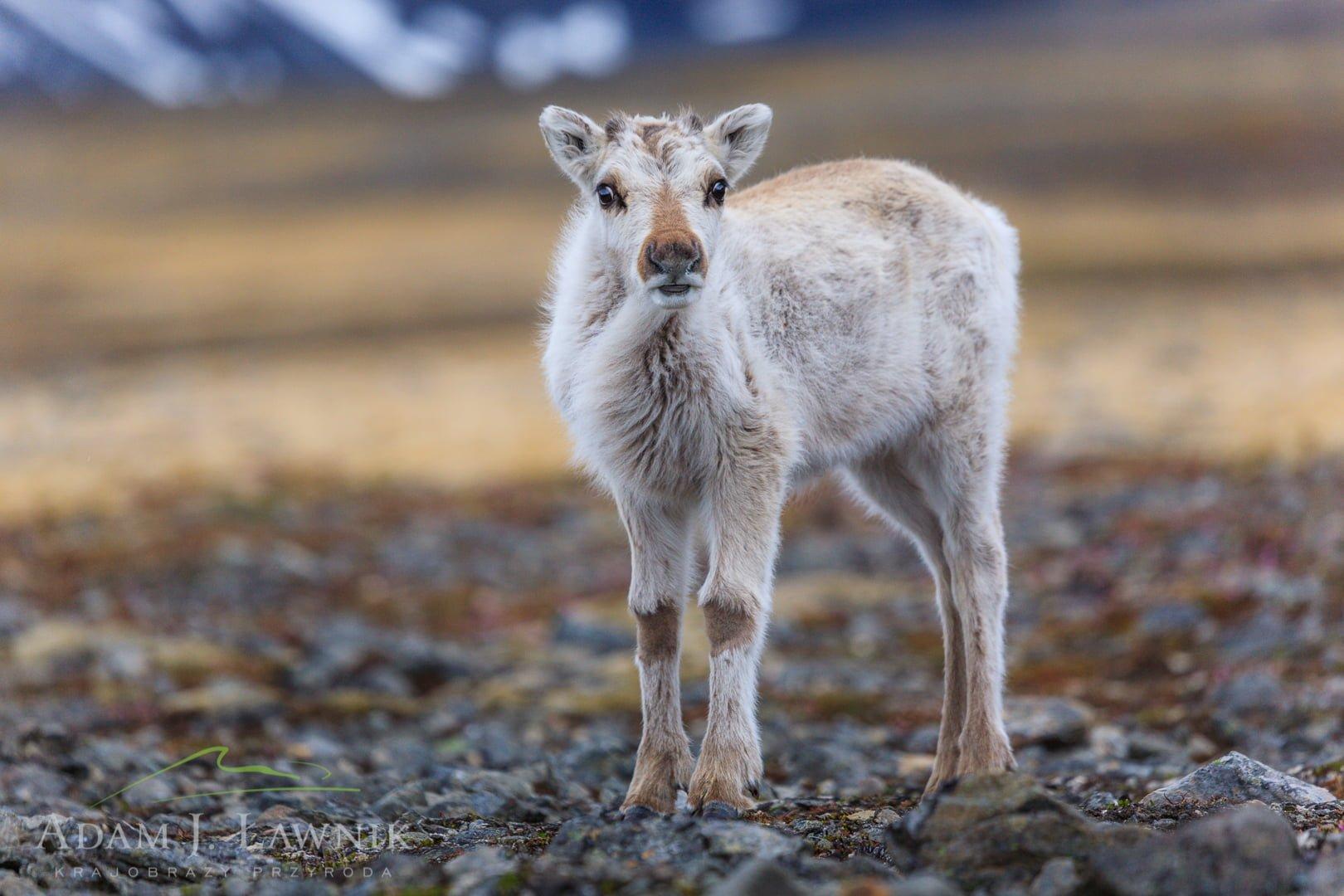 Reindeer 0606-01264C