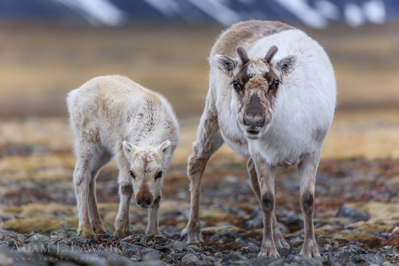 Reindeer 0606-01278C