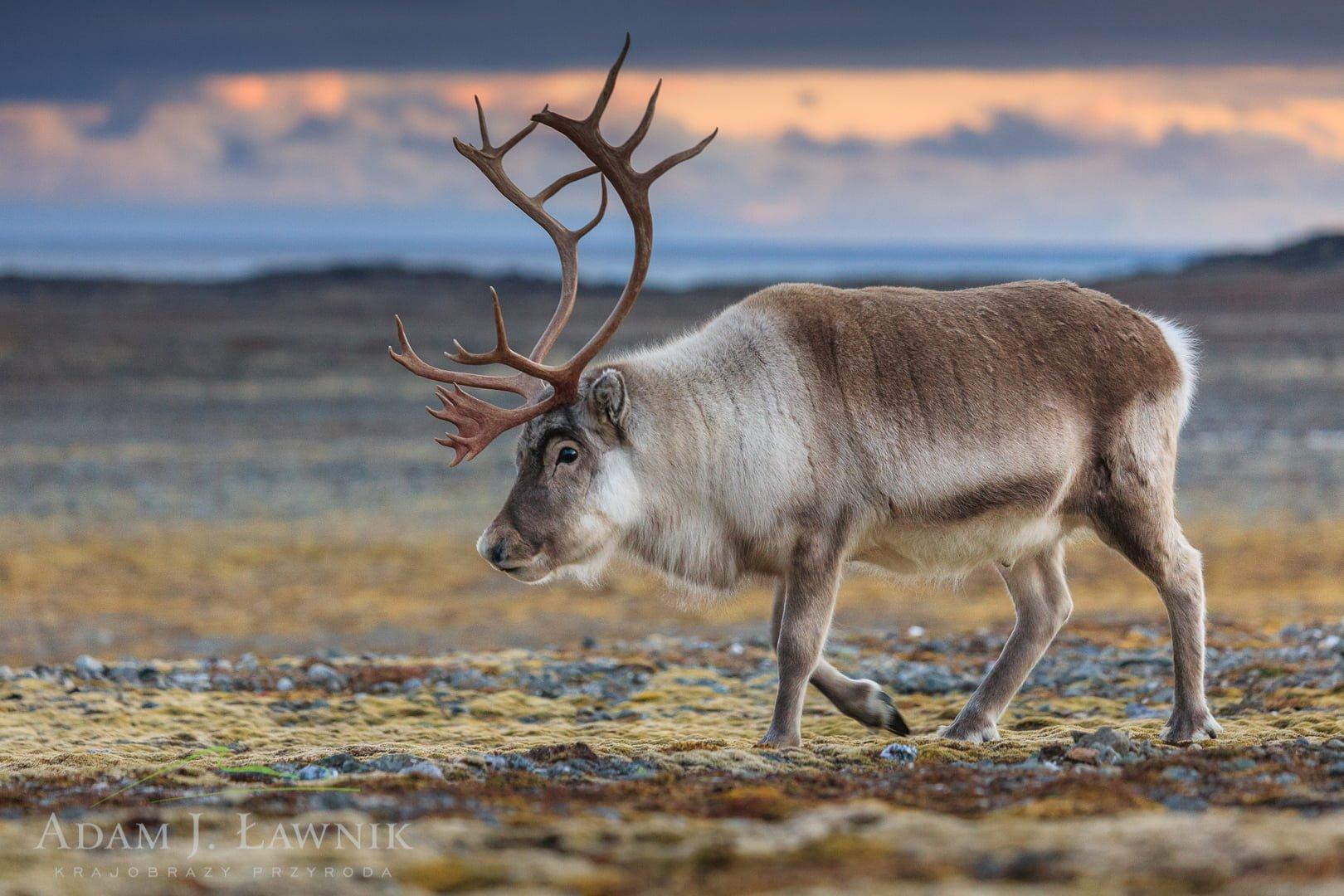 Reindeer 0709-01537C