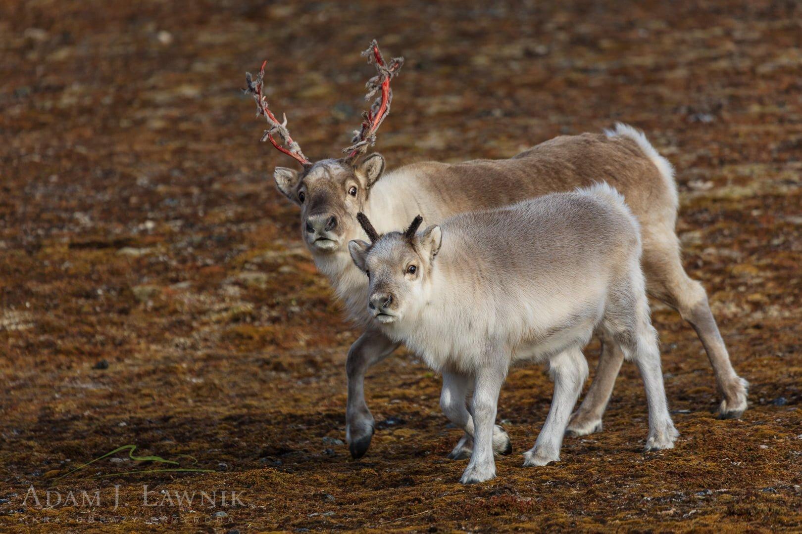 Reindeer 0709-01547C