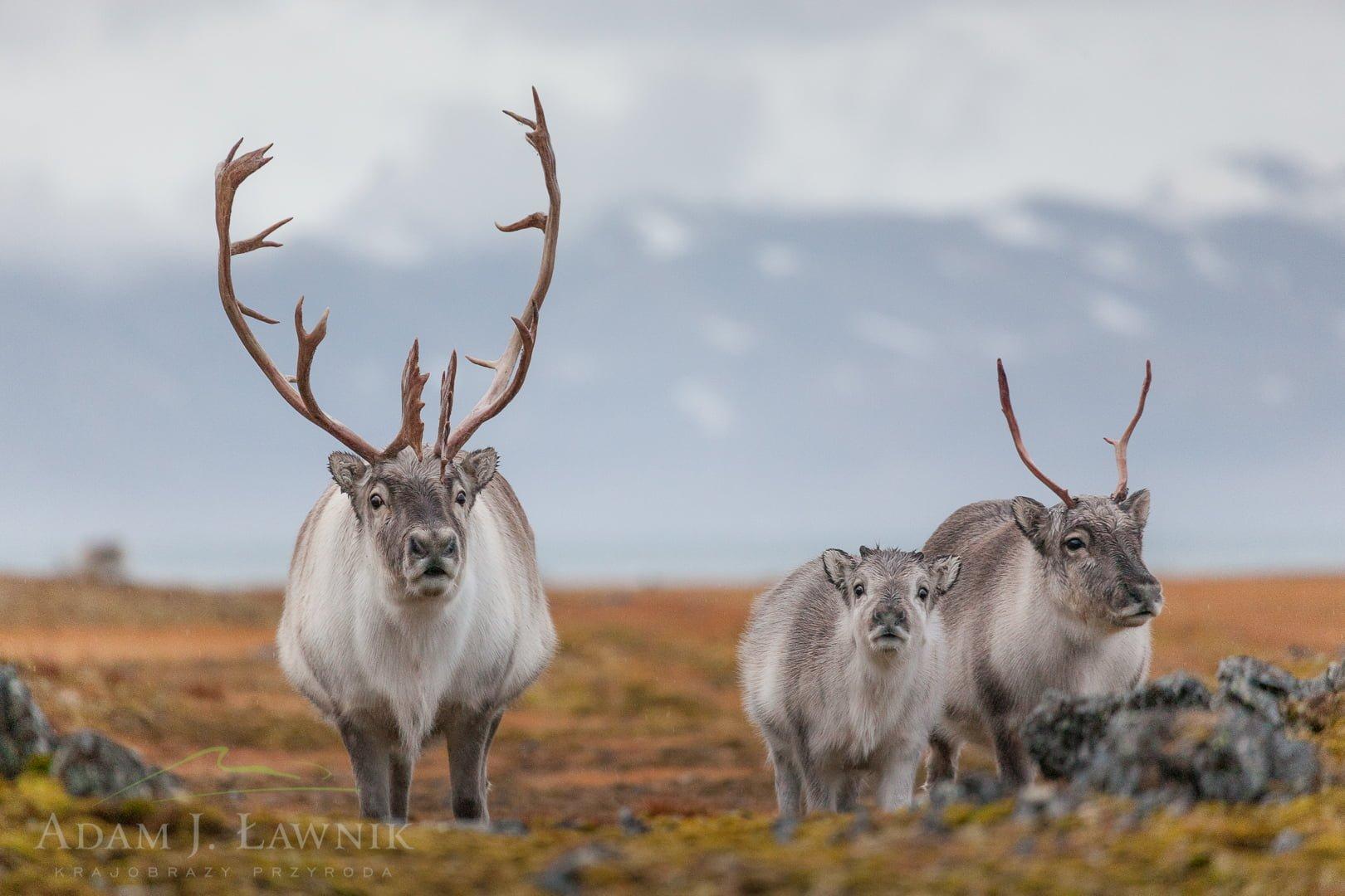 Reindeer 0709-01618C