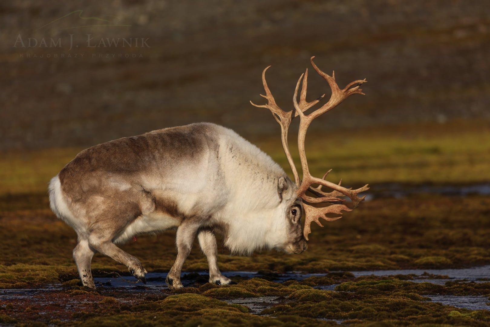 Reindeer 0709-01806C