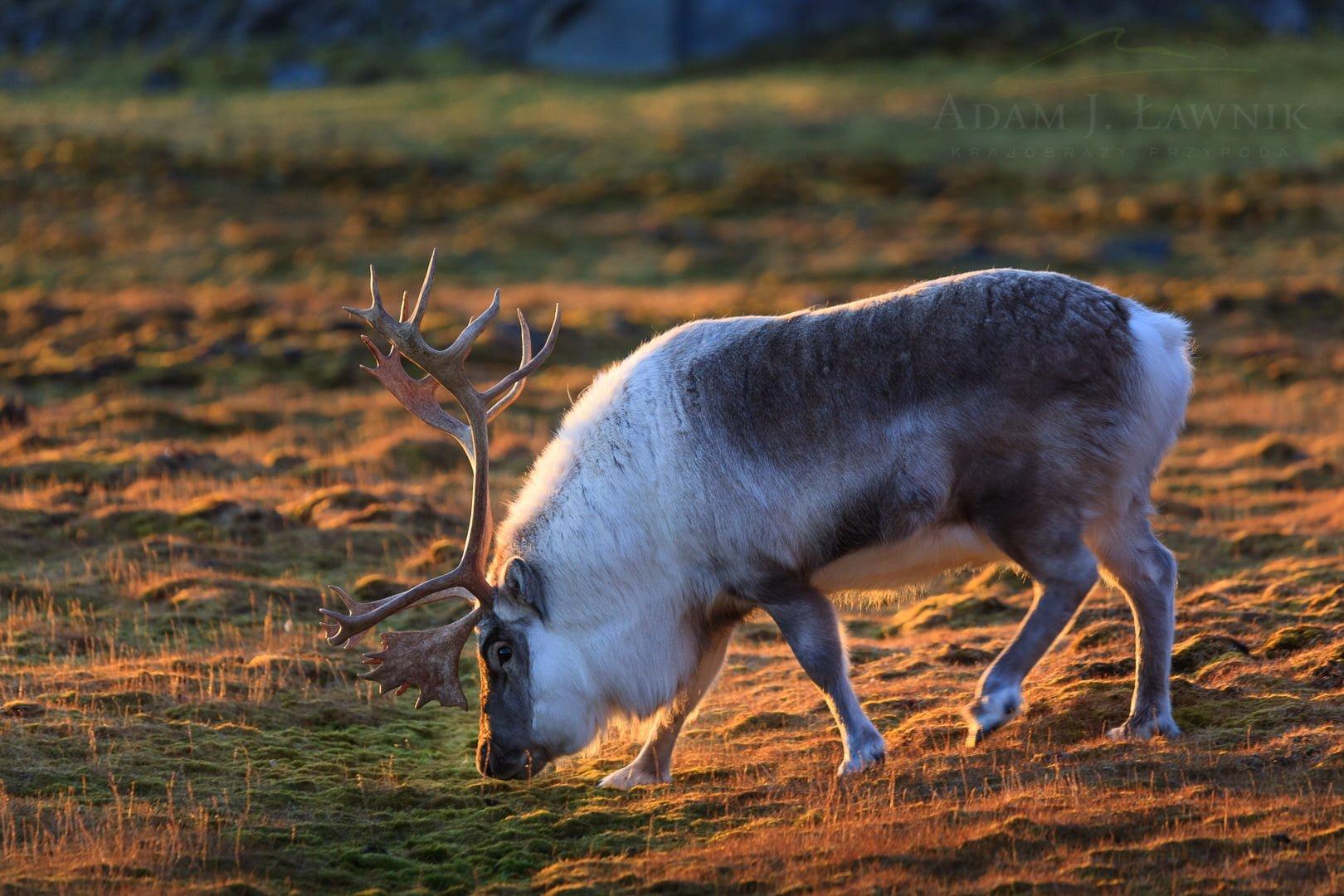 Reindeer 0709-01944C